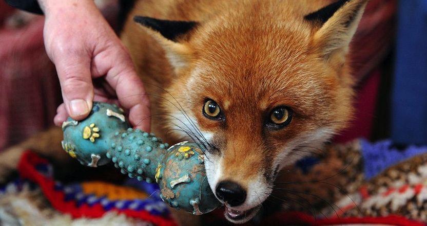 un renard comme animal de compagnie